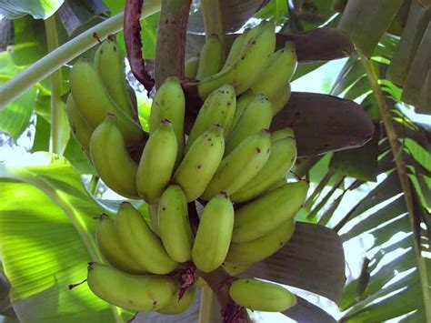 bananas on tree 7 bananas benefits herbal medicine and nutrition