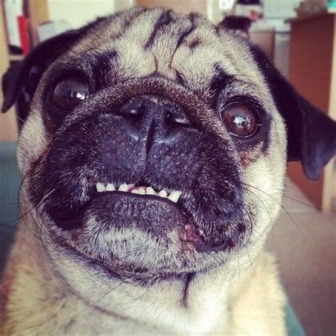 pug teeth 1000 images about animal smiles on dental hygiene the dentist and brushes