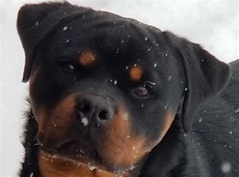 8 month rottweiler behavior king rottweilers rottweiler behavior explained november 8 2017