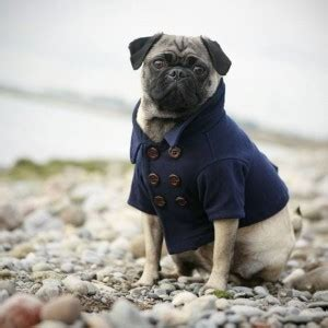 how much walking does a pug need pugpugpug why the difference in price on these pug puppies