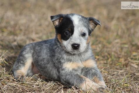 and blue heeler puppies 1000 images about blue cattle dogs on