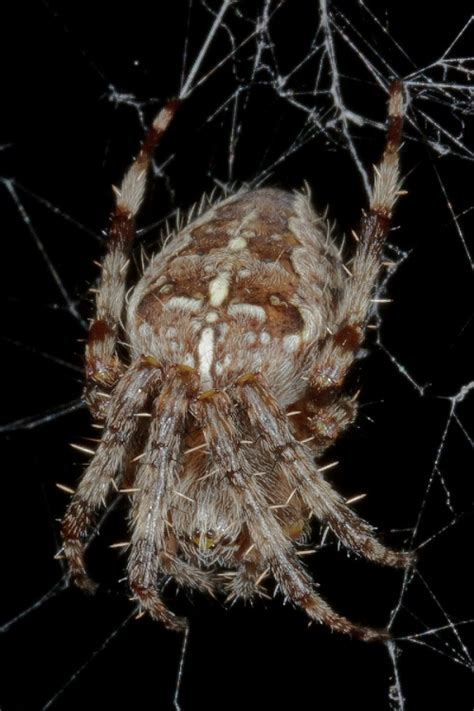 Garden Spider Spot Araneidae Naturespot