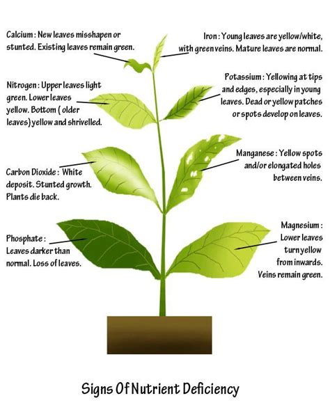 nutrient deficiency signs of plant nutrient deficiency hydroponics