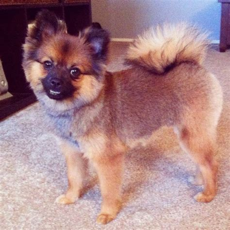 pomeranian summer haircut pomeranian summer hair cut pomeranian summer haircut pomeranian puppy jake