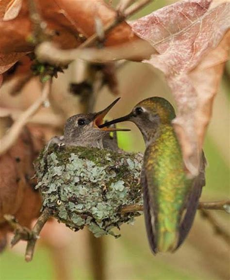 baby hummingbird in the leafy treetops pinterest