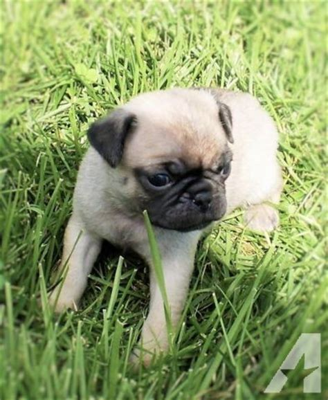 pug breeders indiana akc ckc pug puppies aged 5 weeks for sale in cadiz indiana classified