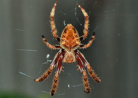 Garden Orb Spider Australia Garden Orb Web Spider Eriophora Transmarina Araneus