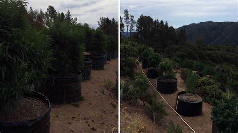 Santa Clara County Warrant Search Santa Clara Co Raid At Illegal Grow Site Uncovers