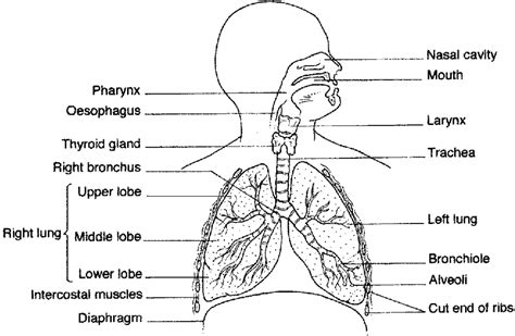 the human lungs diagram lung diagrams 2017 diagram site