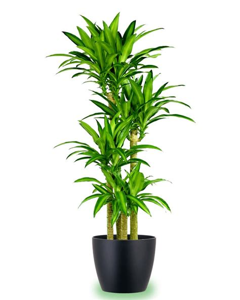 beautiful indoor plants this beautiful mass cane is one our most popular plants