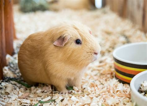 vitamin c vegetables for guinea pigs vitamin c deficiency in guinea pigs petmd