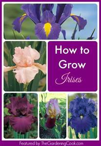 iris perennial bulb with a majestic appeal the
