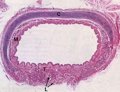 trachea transverse section histology pictorial guide respiratory system pg 2