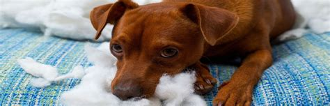dog chewing couch how to deter your dog from chewing up furniture coldwell