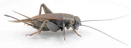 Images Of Plants Gryllus Pennsylvanicus Fall Field Cricket