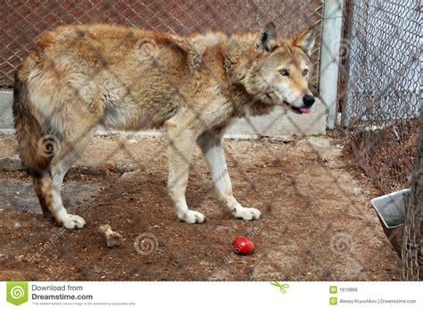 la bestia in gabbia lupo in gabbia fotografia stock immagine di fauna lupo