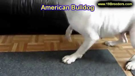 american bulldog puppies craigslist american bulldog puppies dogs for sale in new orleans louisiana la 19breeders