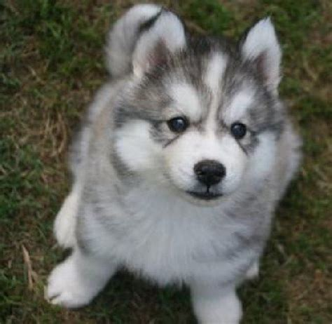 when is a not a puppy 1000 images about siberian husky y alaskan malamute on