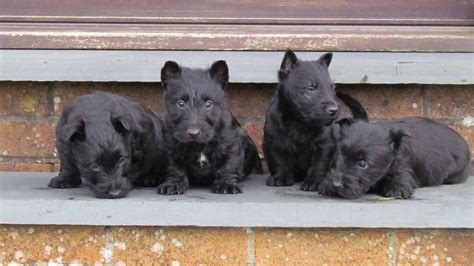 scottie puppies for sale scottish terrier puppies for sale llanidloes powys pets4homes
