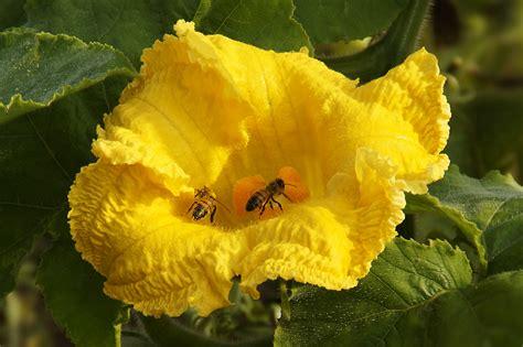 fiori di zucca pianta fiore di zucca appetitoso per le api foto immagini