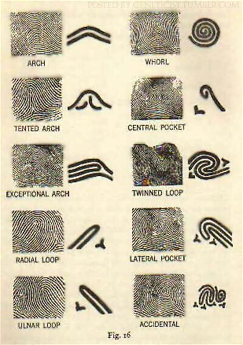 pattern types fingerprint patterns fingerprint pattern forensic