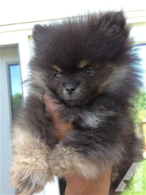 california pomeranian adorable akc purebred teacup black pomeranian pup for sale in concord