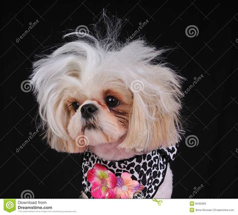 shih tzu and bad shih tzu bad hair day stock photo image 8440260