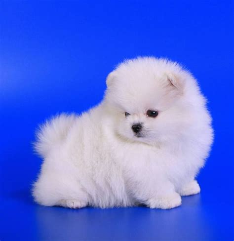 pomeranian puppies free 25 best ideas about pomeranian puppies for free on teacup pomeranian