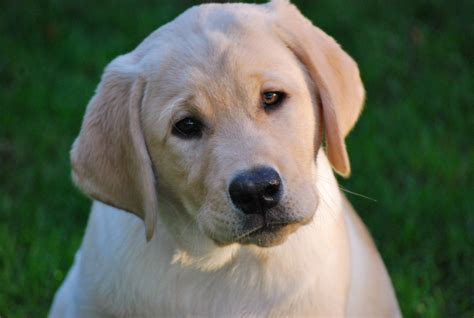 yellow lab puppies for sale wi akc yellow lab puppies for sale puppies