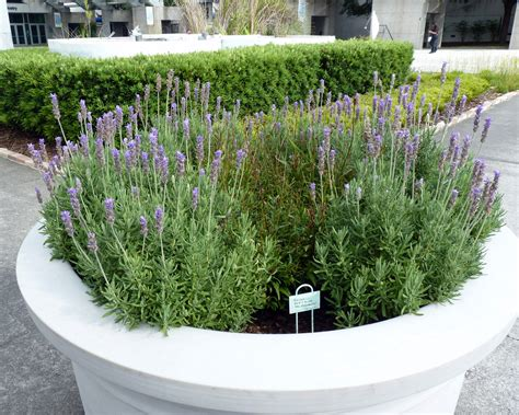 mosi outside scents in the garden french lavender