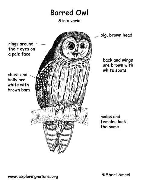 barred owl coloring page owl skeleton diagram