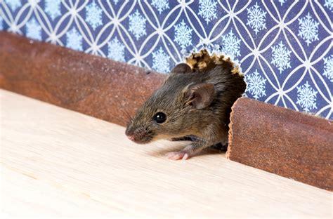 Come Allontanare I Gatti Da Casa come allontanare da casa topi e ratti