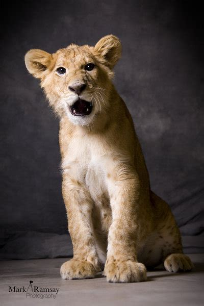 film industry lion exposed simba the lion cub by film exposed on deviantart
