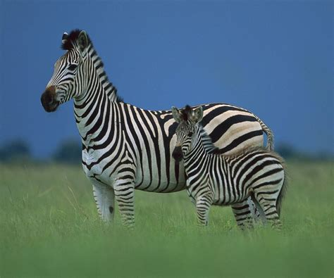 Baby Zebra baby zebra facts about zebras