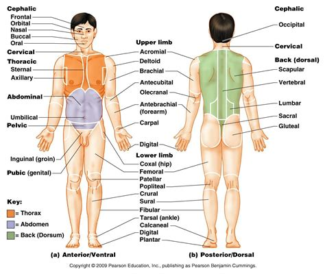 Public Area In Body Parts | body planes google search for kayla pinterest