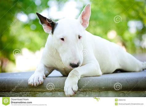 white bull terrier puppy white bull terrier puppies www imgkid the image kid has it