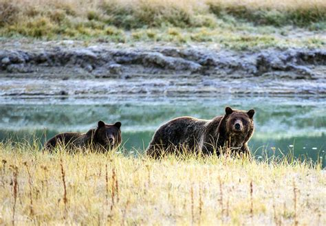 Grizzly Bears Yellowstone National Park U S National Park Service - the controversial science behind the yellowstone grizzly