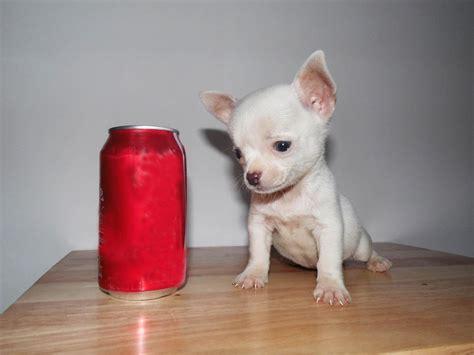 small toy chihuahua blanco mini toy bolsillo tacita youtube