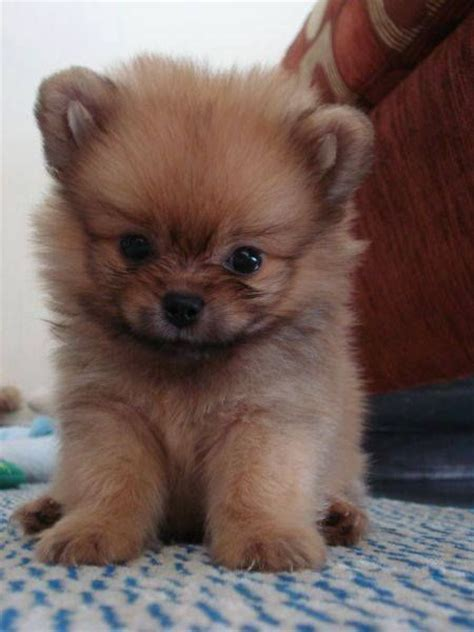 pomeranian world 25 best ideas about adorable puppies on fluffy puppies husky and