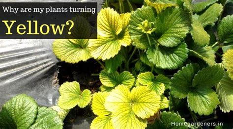 plants turning yellow home gardeners
