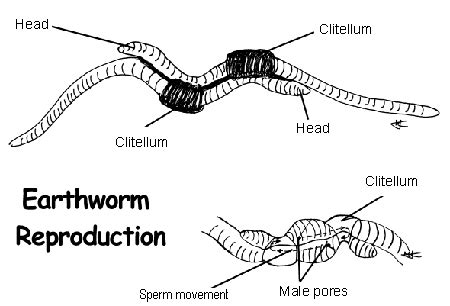 earthworm reproduction diagram sharonhs taxa 2013 p3 earthworm