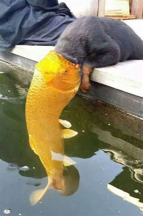 can dogs eat goldfish a puppy kissed a fish and the went