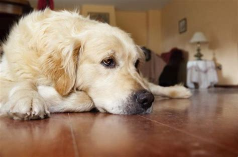 addisons disease in dogs signs symptoms of s disease in dogs ehow