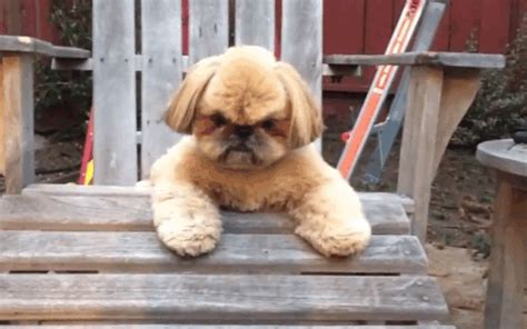 shih tzu gif shih tzu wishes human would take a hint and stop trying to make fetch happen