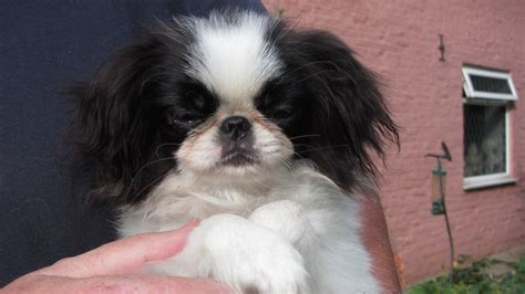 japanese chin puppies for sale japanese chin puppies for sale in uk japanese chin breeders links in models picture