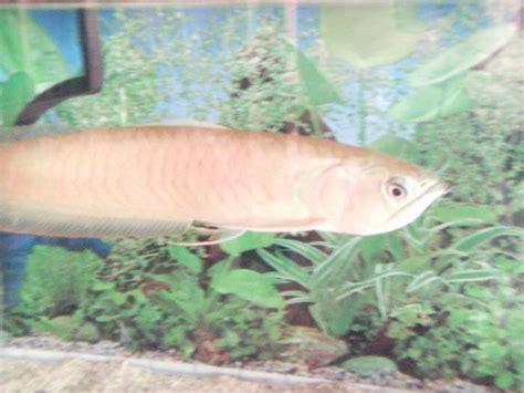 Bibit Ikan Arwana cara budidaya ikan arwana untuk pemula studentpreneur