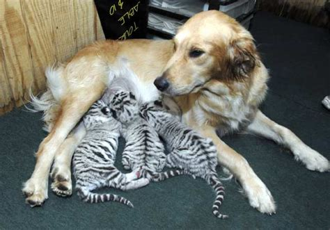 how to take care of a golden retriever golden retriever adopts tiger cubs l a unleashed los angeles times