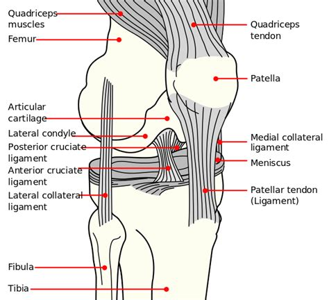 knee tendon diagram patellar dislocation