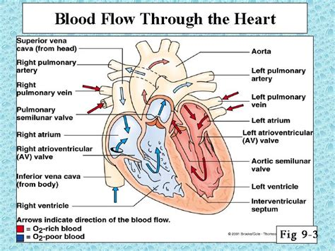 blood flow through the diagram step by step blood flow through the applecool info