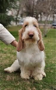 Grand basset griffon vendeen omg its so adorable i m going